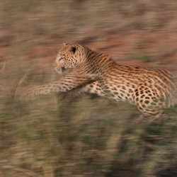 Leopard in motion