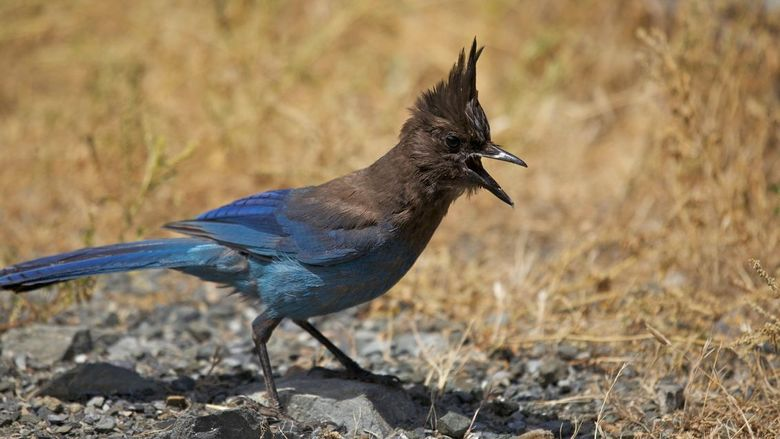 steller,s jay - gaaiachtige vogel. gemaakt inccalifornia.