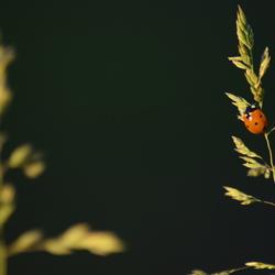 Lieveheersbeestje in de avond