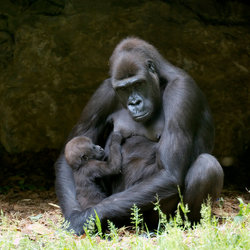 gorilla moeder en kind