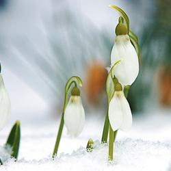 sneeuwklokjes in de sneeuw