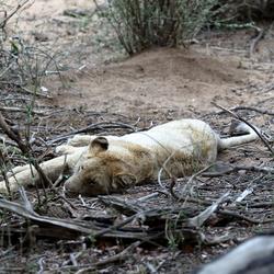 Vermoeide leeuwin