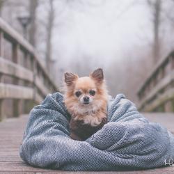 Chihuahua Muis