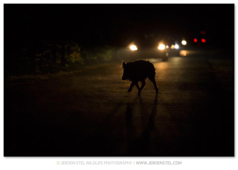 Wild Zwijn in tegenlicht