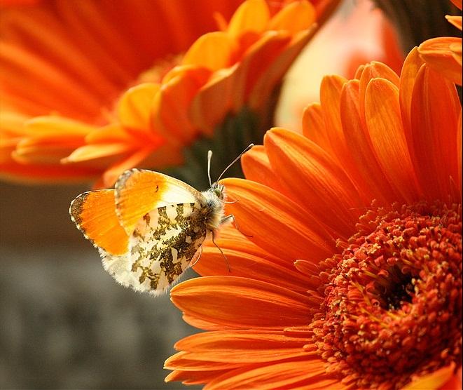 oranje op oranje. - Oranjetipje op een oranje Gerbera.<br /> Wat een kleur.