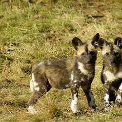 Jonge Afrikaanse Wilde Honden