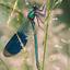 Blauw groen juffertje