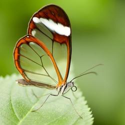 Glasvleugel vlinder