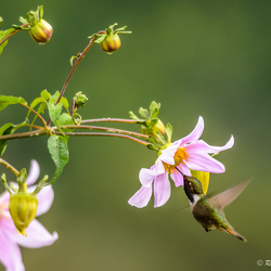 Kolibri in vlucht