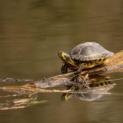 Schildpad in de Gravenallee in Almelo