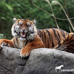 Sumatraanse Tijgerin