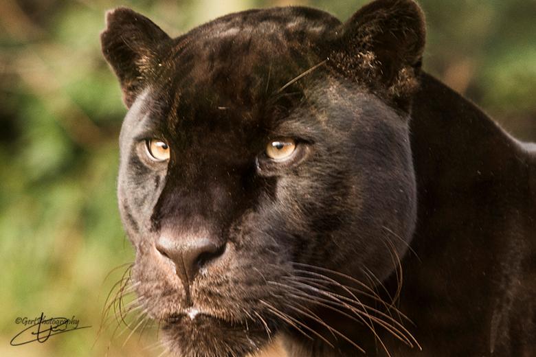 Zwart gevlekte jaguar - Dierentuin Emmen. Is daar een tijdelijke gast en gaat later naar Artis.