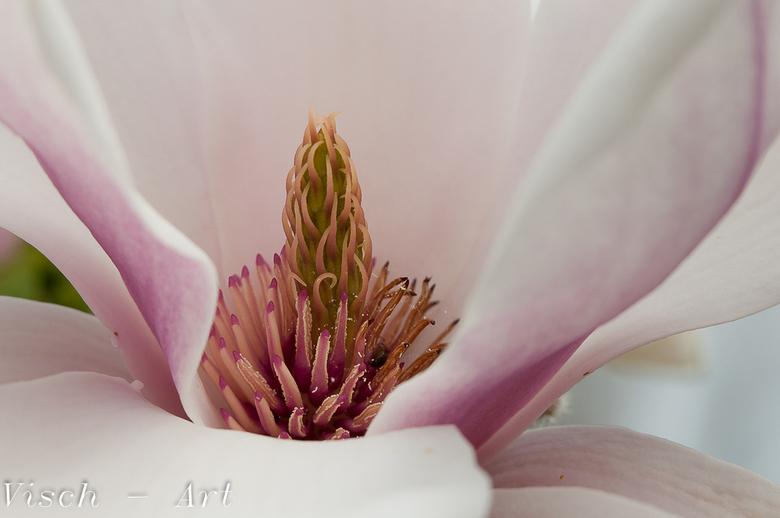 Magnolia - Prachtig mooie bloem, aan kale takken.<br /> Hier een close-up van het hart.<br /> Bedankt voor de reactie op de Geelgors.