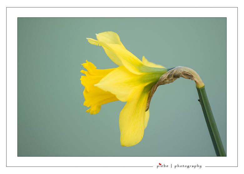 Bloeiende narcis - Ik kan nog even geen genoeg krijgen van de bloeiende narcissen. Deze is in het park Heremastate te Joure gemaakt. De zacht groene a