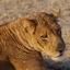 Leeuw in Zambia