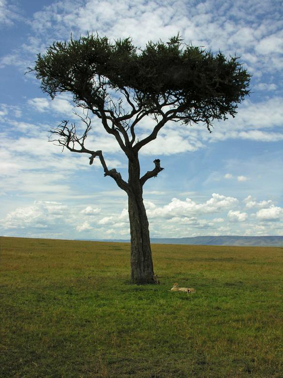 Cheeta met welp - In de Masai mara, Kenia, lag een cheeta met haar welp uit te rusten bij deze eenzame boom. De welp hangt lui tegen de boom. De volge