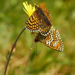 veldparelmoervlinder paring