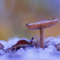 winters paddestoeltje
