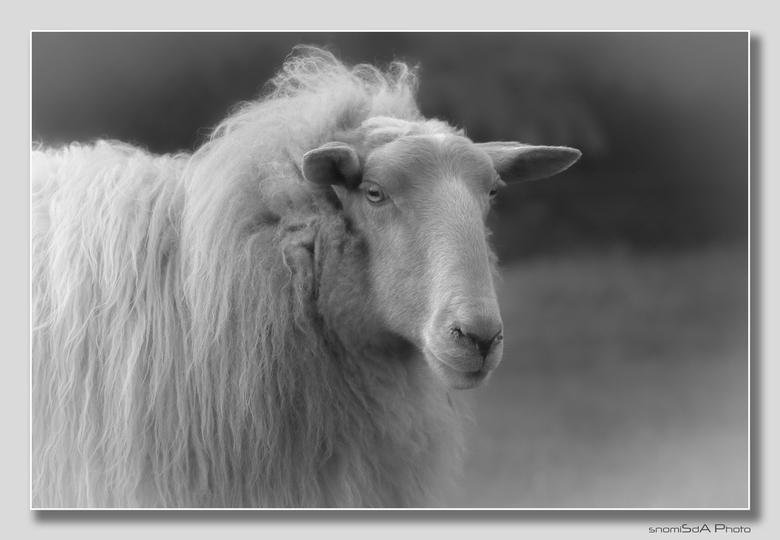 de fijnste wol....... - Ik heb de fijnste wol........voorzichtig met scheren alstublieft.....