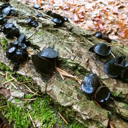 zwarte knoopzwam (volwassen)