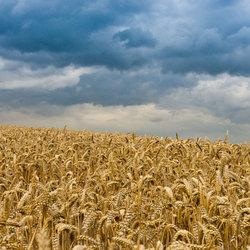 Donkere wolken boven het graan