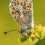 blauwtje-vlinder