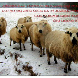Protest  schapen