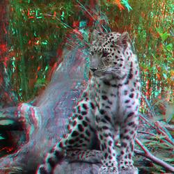 Amur Panter Blijdorp Zoo 3D