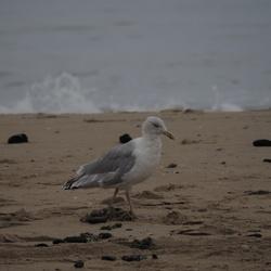OI000212Meeuw aan het strand van Hargen