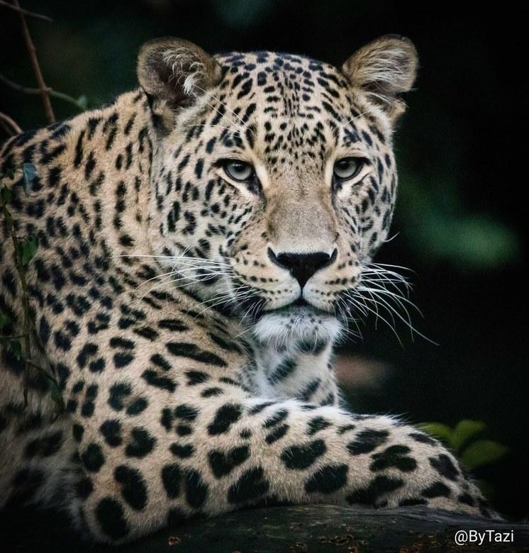 Stiking a pose - De Perzische panters in Safaripark Beekse Bergen kunnen zo mooi poseren...