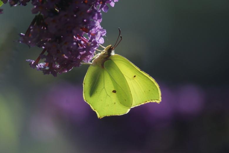 citroentje op vlinderstruik   - Gemaakt op een mooie zomerdag. De zon die schijnt door de vleugels.