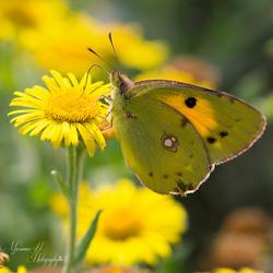 Oranje Luzerne vlinder