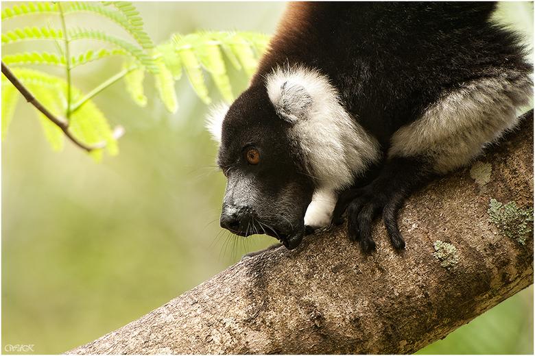 Een grote bek - Naast de diverse lemurensoorten zijn er ook verschillende maki soorten op Madagaskar te vinden.<br /> Dit is een vari en ze zijn na d