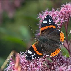 vlinder 016