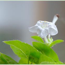 een bloem van Indië
