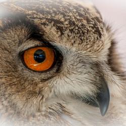 De scherpe blik van de oehoe