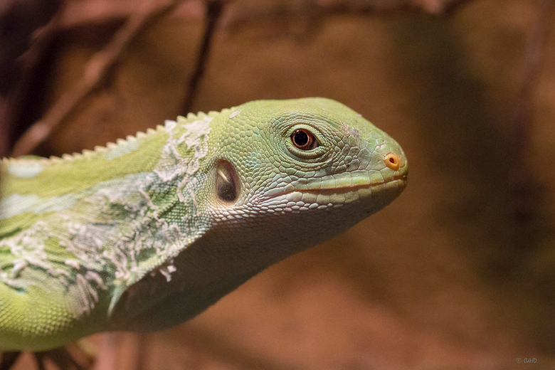 Smaragd varaan - Varanus prasinus - Smaragdvaraan (Varanus prasinus)