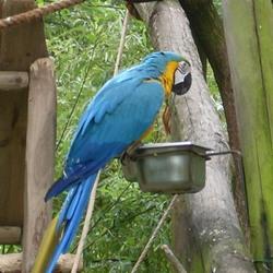 Blauwe ara of Papegaai