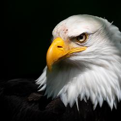 Magistrale vogel