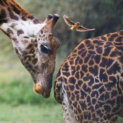 Giraffen en Geelsnavelossenpikker in Tanzania