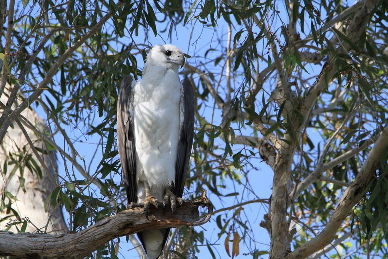 White-bellied Sea-eagle -