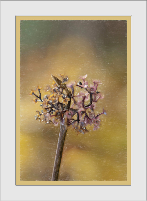 Uitgebloeid - En dan van zo'n mooi uitgebloeid bloempje een schilderijtje maken zonder je handen vies te maken. Met het filter impressies van Top