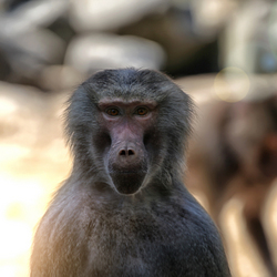 The Baboon Stare