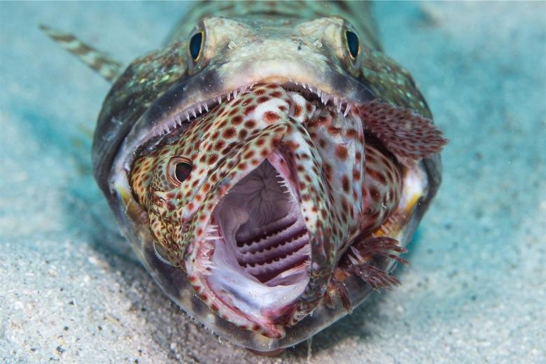 Lizardfish met grouper - Dit kom je niet zomaar tegen, of eigenlijk wel, maar dat zal niet vaak zijn. Curacao 18-5