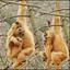 gibbon aapje verdronken.............