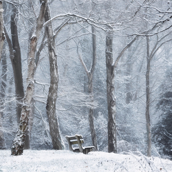 The Bench & The Birches.