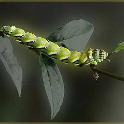 Groen-gele  rups_DSC5280