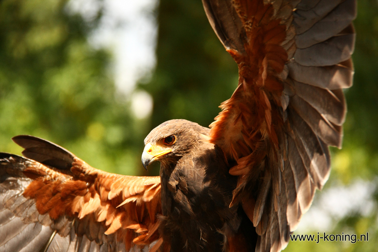Roofvogelshow Orvelte -