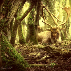 King of the Forest