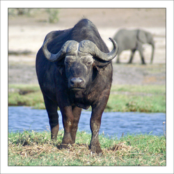 Kaffer buffel
